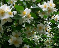 Makrofoto von Terry Jasmine-Blume mit den Blumenblättern der weißen Farbe Stockfoto