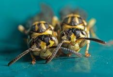 Makrofoto von zwei Wespen auf blaues Grün-Metallmaterial stockbild