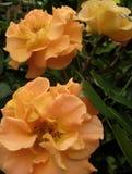 Makrofotoet av härliga blommor för en sprej lagar mat med grädde rosor Arkivbild