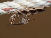 Makrofotoet av pappers- Wasp bygger ett rede på nylonrepet royaltyfria bilder