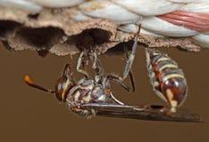 Makrofotoet av pappers- Wasp bygger ett rede på nylonrepet royaltyfria foton