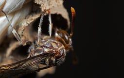Makrofotoet av pappers- Wasp bygger ett rede p? nylonrepet, selektiv fokus arkivbilder