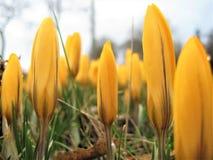 Makrofotoet med bakgrunden av den första våren blommar med gula kronblad Arkivfoton
