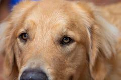 Makrofotografi av ögonen av en uppmärksam och lycklig hund för golden retriever royaltyfria bilder