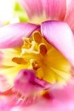 Makrofotografi av blommakronbladet Tulpanblommaslut upp abstraktion Arkivfoton