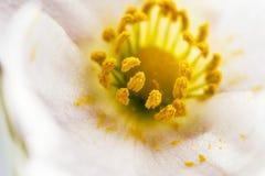 Makrofotografi av den vita blomman med gulaktigt pollen royaltyfri foto