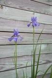 Makrofotografi av lila iriers Arkivfoto