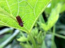 Makrofotografi av litet behandla som ett barn gräshoppan på det gröna bladet i skogen, gräshoppan ettäta kryp och bladet med den  arkivfoto