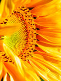 Makrofotografi av solrosen Arkivbild