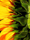 Makrofotografi av solrosen Royaltyfria Foton