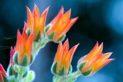 Makrofotografi av suckulenta växtblommor för echeveria royaltyfria foton