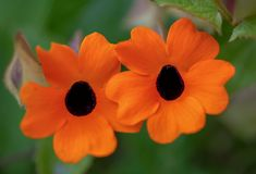 Makrofotografi av två svart-synade Susan blommor royaltyfri bild