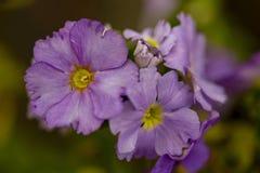 Makrofotografi av violetta primulablommor fotografering för bildbyråer