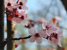 Makrofotohintergrund mit dekorativen Blumen mit den rosa Blumenblättern auf der Niederlassung eines Obstbaumes Stockfotografie