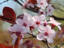 Makrofotohintergrund mit dekorativen Blumen mit den rosa Blumenblättern auf der Niederlassung eines Obstbaumes Lizenzfreies Stockfoto