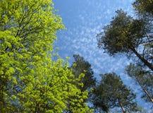 Makrofotohintergrund mit leichten grünen Bäumen auf einem blauen Himmel Lizenzfreie Stockfotografie