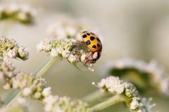 Makrofotoorangenmarienkäfer Damenvogel auf einer obersten weißen Blume Weicher und undeutlicher Gartenhintergrund Flache Schärfen Stockfotografie