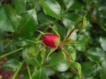 Makrofotos der Knospen von schönen Rose Bush mit den Blumenblättern das junge Rot auf einem Hintergrund des üppigen grünen Laubs Stockbilder
