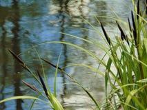 Makrofotos mit Landschaftshintergrund-Flusswasser, grüne Vegetation von Schilfen Lizenzfreie Stockbilder