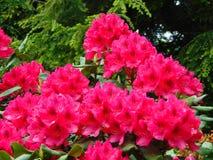 Makrofotos von schönen Blumen mit den Blumenblättern der rosa Farbe auf der Niederlassung eines Strauchs des Rhododendrons Stockbild