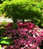 Makrofotos von schönen Blumen mit den Blumenblättern der rosa Farbe auf der Niederlassung eines Strauchs des Rhododendrons Lizenzfreie Stockfotos