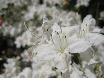Makrofotos von schönen Blumen mit den Blumenblättern der weißen Farbe auf den Niederlassungen des Rhododendrons Stockfotografie