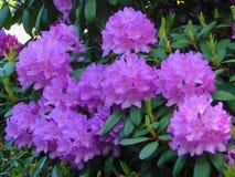 Makrofotos von schönen Blumen mit den Blumenblättern des Purpurs auf den Niederlassungen von Bush des Rhododendrons Stockfoto