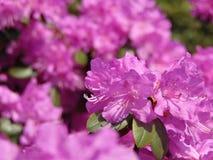 Makrofotos von schönen Blumen mit den Blumenblättern des Purpurs auf den Niederlassungen von Bush des Rhododendrons Stockbild