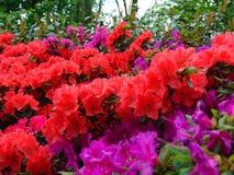 Makrofotos von schönen Blumen mit den Blumenblättern von purpurroten, rosa Schatten auf den Niederlassungen von Bush des Rhododen Lizenzfreie Stockfotos
