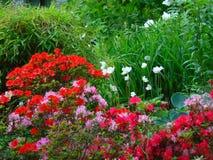 Makrofotos von schönen Blumen mit den Blumenblättern von purpurroten, rosa, weißen Farben auf den Niederlassungen von Bush des Rh Stockfotos