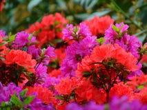 Makrofotos von schönen Blumen mit den Blumenblättern von purpurroten, rosa, weißen Farben auf den Niederlassungen von Bush des Rh Lizenzfreie Stockbilder