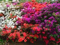 Makrofotos von schönen Blumen mit den Blumenblättern von purpurroten, rosa, weißen Farben auf den Niederlassungen von Bush des Rh Lizenzfreies Stockfoto