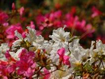 Makrofotos von schönen Blumen mit den Blumenblättern von rosa und weißen Farben auf den Niederlassungen des Rhododendrons Stockbild