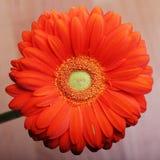 Makrofotoschönheit roter Gerbera-Blumenabschluß herauf Hintergrund Stockfotografie