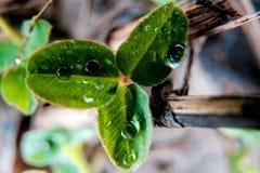 Makrofototrehlistnik av grön vårväxt av släktet Trifolium med droppar av dagg, irländskt växt av släktet Trifoliumsymbol av St Pa Royaltyfri Bild