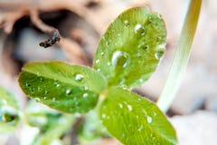 Makrofototrehlistnik av grön vårväxt av släktet Trifolium med droppar av dagg, irländskt växt av släktet Trifoliumsymbol av St Pa Royaltyfri Foto
