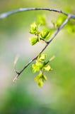 Makrofrühlingsansicht des Baumbrunchs mit grünen Blättern Lizenzfreie Stockbilder