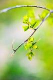 Makrofrühlingsansicht des Baumbrunchs mit grünen Blättern Lizenzfreie Stockfotografie