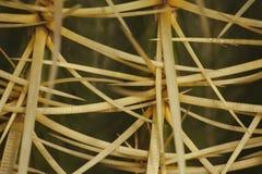 Makrofragment Echinocactus grusonii Hildm (kaktus för guld- trumma, guld- boll, Mather-i-lagars kudde) Arkivfoton