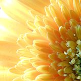 Makrogerbera-Blume Capitulum lizenzfreies stockbild