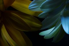 Makrogerbera-Blume, Wasser-Tröpfchen, zurückhaltendes Porträt lizenzfreie stockbilder