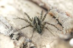 Makrogroßaufnahme der haarigen kleinen Spinne lizenzfreies stockfoto