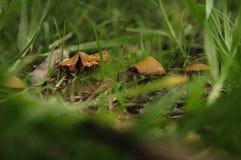 Makrogrupode Hongos silvestres royaltyfria bilder