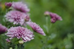 Makrohintergrund der abstrakten Kunst der schönen Blumen mit einer Weichzeichnung Rosa und Purpur blüht Chrysantheme in der Natur lizenzfreie stockfotografie