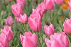 Makrohintergrundbeschaffenheit von bunten Tulpenblumen Lizenzfreie Stockfotografie