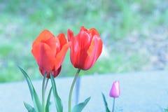 Makrohintergrundbeschaffenheit von bunten Tulpenblumen Stockbild