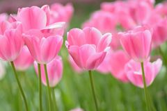 Makrohintergrundbeschaffenheit von rosa Tulpenblumen Lizenzfreie Stockfotografie