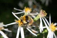 Makrohummel auf Blume Lizenzfreies Stockfoto