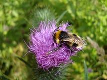 Makrohummel auf einer Distelblume an einem sonnigen Tag lizenzfreies stockfoto