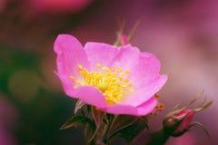 Makrohund der rosa Hagebutteblume stieg Lizenzfreie Stockbilder